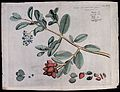 Avicennia officinalis L.; branch with flowers, fruit and lea Wellcome V0042615.jpg