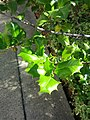 B50 Ilex opaca (American Holly) Close-up.jpg