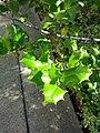 B50 Ilex opaca (American Holly) Close-up.jpg