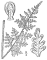 BB-0081 Cheilanthes tomentosa.png