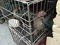 Baby monkeys in Jatinegara Market.jpg