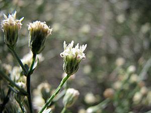 Baccharis brachyphylla - Image: Baccharis brachyphylla