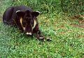 Baird's Tapir (Tapirus bairdii) (22256871822).jpg
