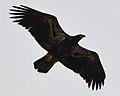Bald Eagle (Haliaeetus leucocephalus) - St. John's, Newfoundland 2019-08-22 (02).jpg