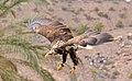 Bald Eagle 2 (3300893164).jpg