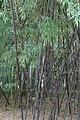 Bambouseraie de Prafrance 20100904 009.jpg
