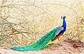 Bandipur Peacock.jpg