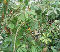 Banksia integrifolia 01 ies.jpg