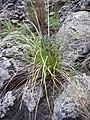 Banksia integrifolia L.f. (AM AK306127-2).jpg