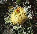 Banksia undata inflorescence Serpentine.JPG