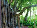 Banyan Tree in Haleakala National Park, Maui, James Brennan Hawaii - panoramio.jpg