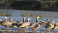 Bar-headed Geese in Magadi lake by Samad Kottur.jpg