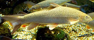Common barbel - Image: Barbel