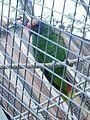 Barcelona-Zoo-Guacamayo de cola roja (Amazon brasiliensis).jpg