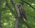 Barred Owl (6846826163).jpg