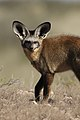 Bat-eared fox, Otocyon megalotis, at Kgalagadi Transfrontier Park, Northern Cape, South Africa (34193160604).jpg