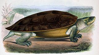 Northern river terrapin species of reptile