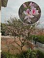Bauhinia variegata.jpg