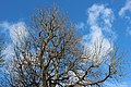 Baum ohne Blaetter tree without leaves.jpg