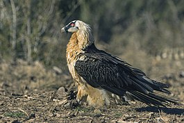 Bearded Vulture - Catalan Pyrenees - Spain (25098398432).jpg