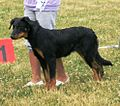 Beauce Shepherd 2.JPG