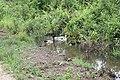 Bebek Nyari Cacing - panoramio.jpg