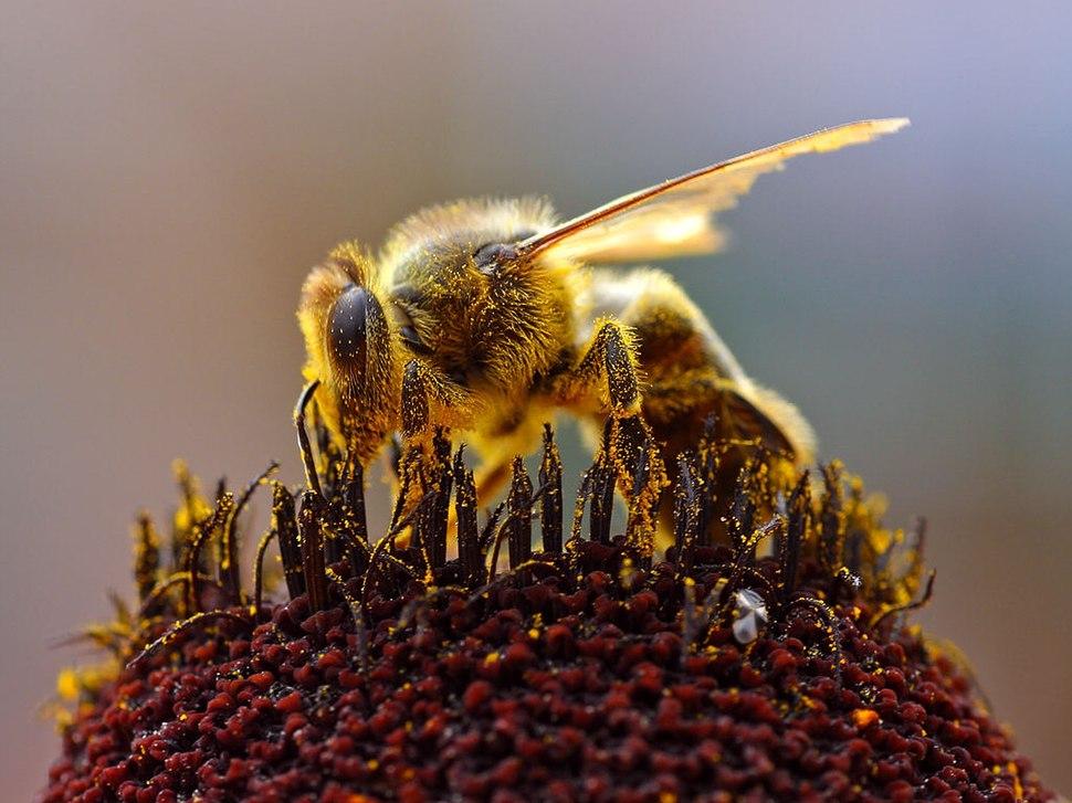 Bee Collecting Pollen 2004-08-14