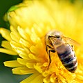 Bee On Dandelion (215165883).jpeg