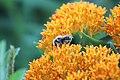 Bee on Butterfly Milkweed (35314601621).jpg