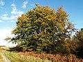Beech tree near Fairydean Burn - geograph.org.uk - 269259.jpg