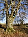 Beech tree south of Ridgeway Copse, Harewood Forest - geograph.org.uk - 147467.jpg