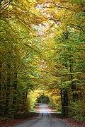 Beech wood in Fyledalen.jpg