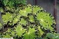 Begonia Baby Perfection 2zz.jpg