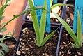 Belamcanda chinensis 6zz.jpg