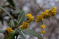 Berberis gagnepainii - Fleurs.jpg