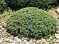 Berberis wilsoniae - Kunming Botanical Garden - DSC03046.JPG