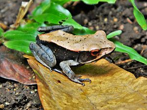Bicolored frog - Male in breeding colours