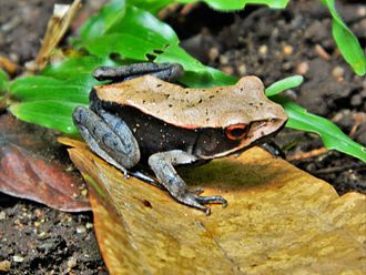 Endemism - Bicolored frog (Clinotarsus curtipes) is endemic to the Western Ghats of India