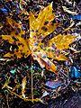 Big-leaf maple leaf (21526159374).jpg