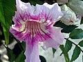Bignonia ricasoliana Flower Closeup TorreLaMata.jpg