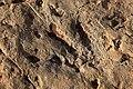 Biped Dinosaur Footprint Ibakliwine Morocco.jpg