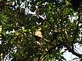 Bird White throated Brown Hornbill Anorrhinus austeni IMG 8142 04.jpg