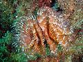 Bispira volutacornis.jpg