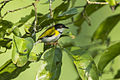 Black-capped Apalis from Canopy Walkway - Kakum NP - Ghana 14 S4E1344 (16013527599).jpg