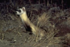 Black-footed ferret.png