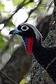 Black-fronted Piping-Guan (Pipile jacutinga) (8077719470).jpg