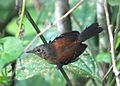 Black-hooded Antwren. RJ 02.jpg