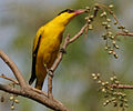Black-naped Oriole feeding on Lannea coromandelica W IMG 7460.jpg