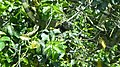 Black Ctenosaur Ctenosaura similis (29513342748).jpg
