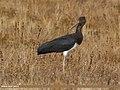 Black Stork (Ciconia nigra) (26436863969).jpg